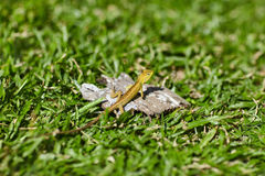 Lizard sitting on the grass Stock Photography