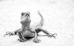 Lizard. Sitting in the ground, Low perspective Stock Photo