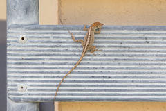 Lizard. Sitting, on an iron surface close-up stock photography