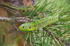 Lizard sitting on a pine branch Royalty Free Stock Images