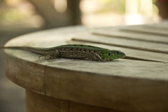 Lizard. Sitting quietly on a table Royalty Free Stock Photo