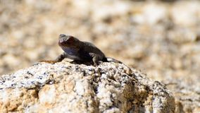 Lizard Sitting on a Rock Royalty Free Stock Photography