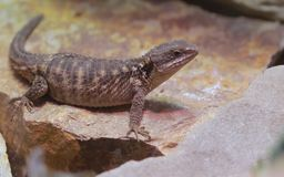 Lizard sitting on a rock in the Palm Springs desert stock photo