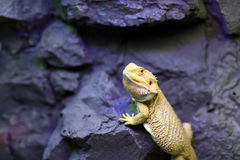 Lizard sitting on a rock Stock Photo