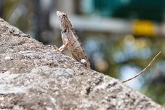 Lizard sitting on a stone stock photography