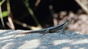 Lizard sitting on a stone