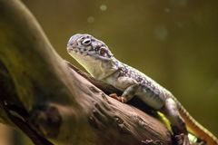 Lizard sitting on a tree branch. Beautiful dragon-like Lizard sitting relaxed on a tree branch with sprinkled skin pattern. Blurry green-yellow background Stock Photos