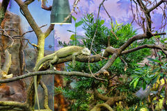 Lizard. Sitting on tree, Chester zoo England Stock Photos
