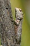 Lizard sitting on a tree stump. Royalty Free Stock Image