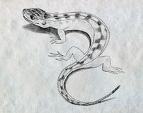 Lizard sketch. Pencil drawn sketch of a small lizard Stock Images