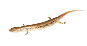 Lizard skink Royalty Free Stock Images