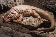 Lizard sleeping. Brown Lizard sleeping on a rock Stock Photos