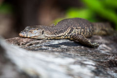 Lizard sleeping on log Royalty Free Stock Images