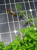 Lizard on solar panel portrait. Lizard on solar panel vertical composition Royalty Free Stock Photo