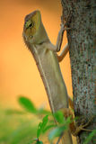 Lizard ,species thai Stock Images