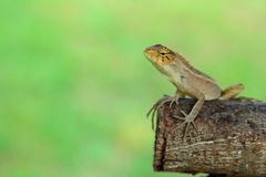 Lizard, species thai Royalty Free Stock Image
