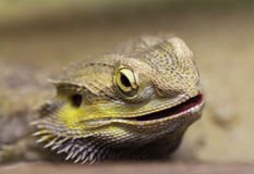 Lizard with spikes Royalty Free Stock Image