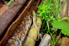 Lizard in the spring Stock Photos
