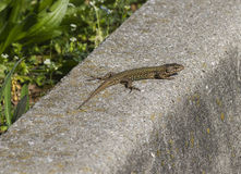 Lizard in the spring Stock Photography