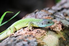 Lizard in the spring forest on a log stock images