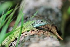Lizard in the spring forest on a log stock photos