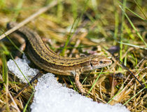 Lizard. A spring lizard in the snow and grass Stock Photography