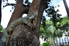 A lizard in a square of Guayaquil, Ecuador. A green lizard over a tree in a public square of the city of Guayaquil, Ecuador stock photos