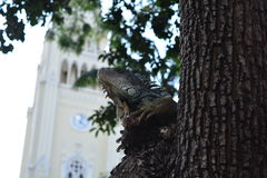 A lizard in a square of Guayaquil, Ecuador. A green lizard over a tree in a public square of the city of Guayaquil, Ecuador, with a church as background royalty free stock image