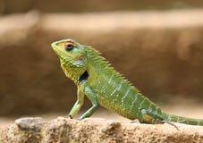 Lizard in Sri Lanka Stock Photos