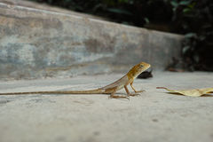 Lizard on stairs Royalty Free Stock Photo