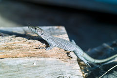The lizard standing on the part of wood. In a natural enviroment Stock Photography