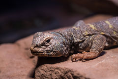 Lizard. Standing in a rock Stock Photography