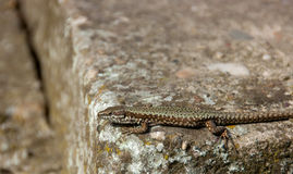 Lizard standing on the rock Royalty Free Stock Photography