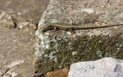 Lizard standing on the rock Stock Photos