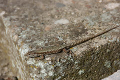 Lizard standing on the rock Royalty Free Stock Photos