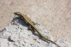 Lizard standing on the rock Royalty Free Stock Photo