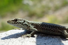 Lizard. A lizard standing still on a rock royalty free stock photography
