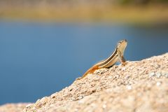 Lizard stands on a rock, blue background stock images