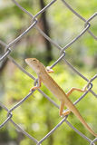 Lizard on steel net Royalty Free Stock Photo