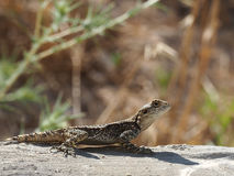 Lizard stellagama stellio Royalty Free Stock Images