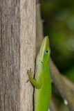 Lizard on a stick. Green lizard climbing a stick Royalty Free Stock Images