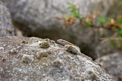 Lizard sticks his head above a rock Royalty Free Stock Photography
