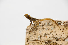 Lizard on a stone Stock Images