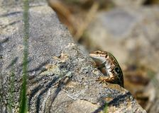 Lizard on the stone Stock Photography