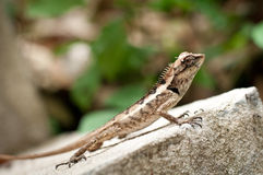 Lizard on a stone Stock Photo