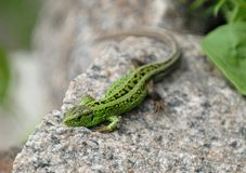 Lizard on the stone. Small lizard sunbathing on the stone royalty free stock photo