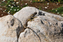 Lizard. A lizard on the stone Stock Image