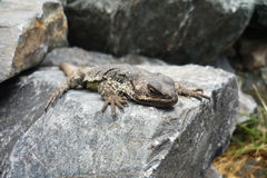 Lizard on stone in Andes mountains stock photography