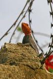Lizard on a stone border Stock Photography