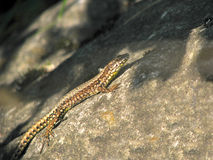 Lizard on stone Royalty Free Stock Images